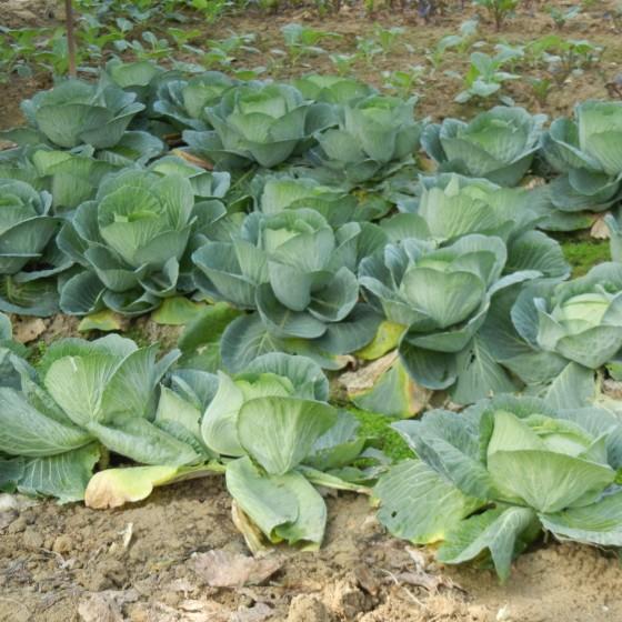 有機野菜イメージ