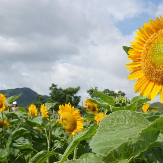 向日葵畑イメージ