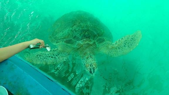 ウミガメ研究所到着、ウミガメの生態についてのビデオを鑑賞(英語)、ウミガメを観察