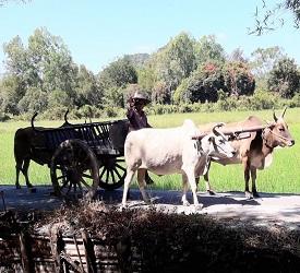 田園風景に囲まれる中、牛車に乗車体験(約30分)