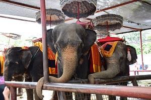 エレファントビレッジにて、象に乗ってお散歩(約10分間)