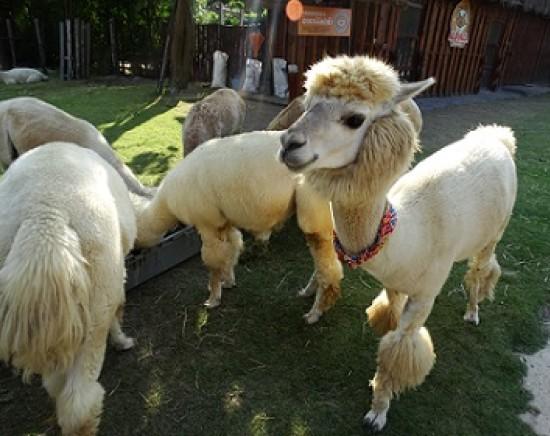 【8月22日限定】もこもこ好き集まれ♪タイのスイス スワンプンで動物と触れ合い体験ツアー<日本語ガイド/一日>