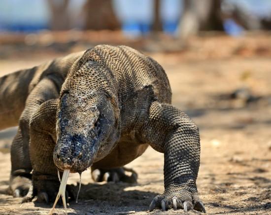 【ジャカルタ発】コモドドラゴンに会うコモド国立公園2泊3日